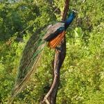 Un paon, l'emblème du Sri Lanka